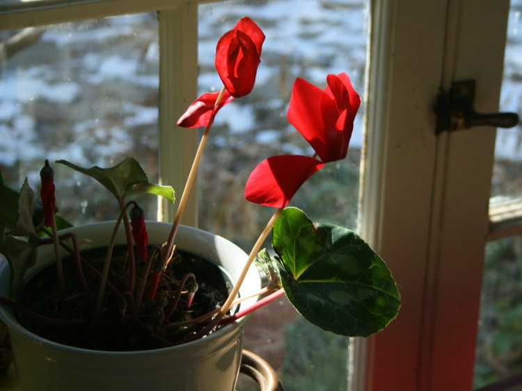 red blooms of a cyclamen