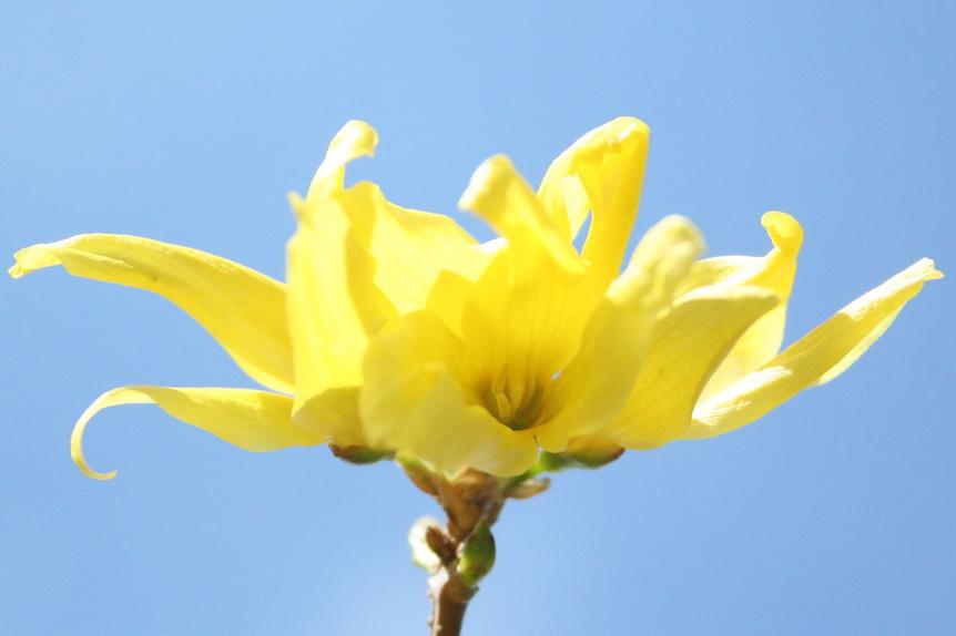 Forsythia blossom against Carolina blue sky