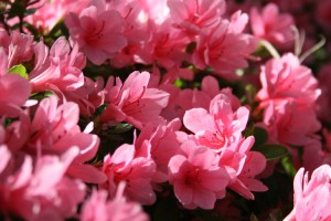 Crystal Pink Azalea