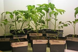 Bubba seedlings