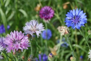 Cornflower or Bachelor's Buttons
